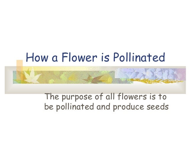 How a Flower is Pollinated The purpose of all flowers is to be pollinated and produce seeds