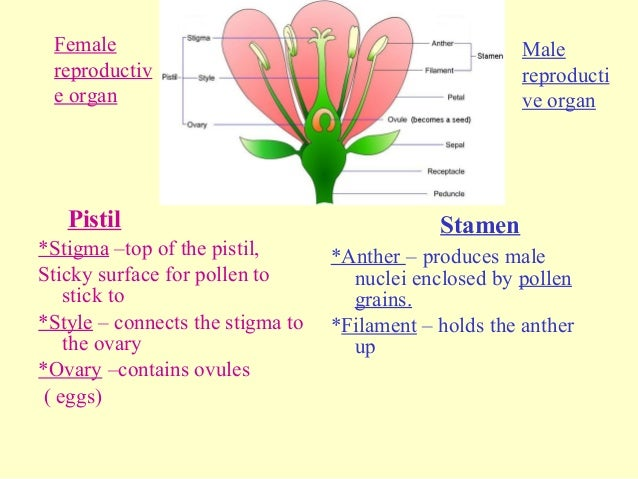 which male organ produces testosterone