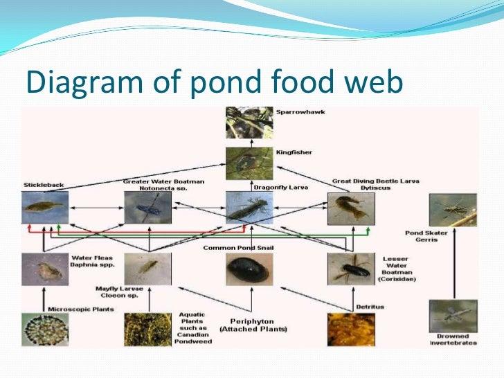 Pond food web
