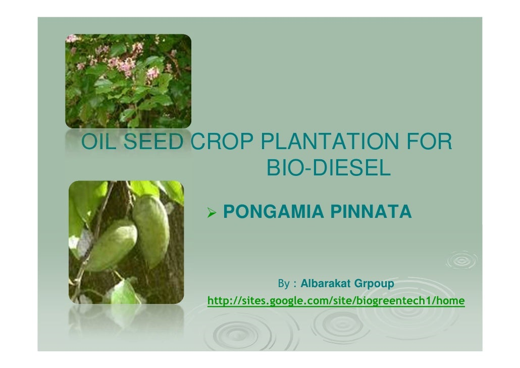 OIL SEED CROP PLANTATION FOR               BIO-DIESEL            PONGAMIA PINNATA                        By : Albarakat Gr...