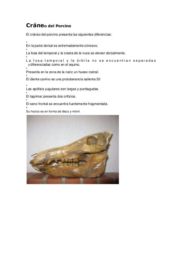 Cráneo del PorcinoEl cráneo del porcino presenta las siguientes diferencias:•En la parte dorsal es extremadamente cóncavo....