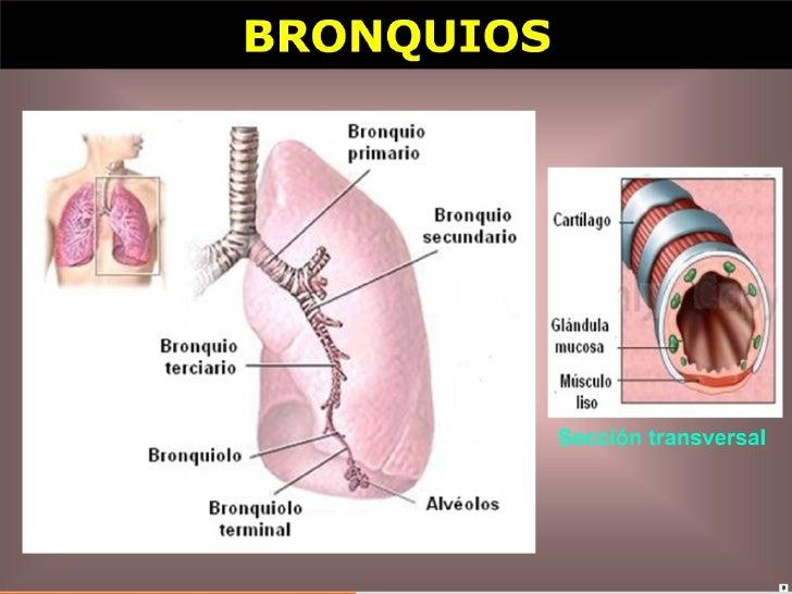 Histología Porción respiratoria