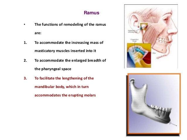 Process of Skull Development Alveolar Process Develops in