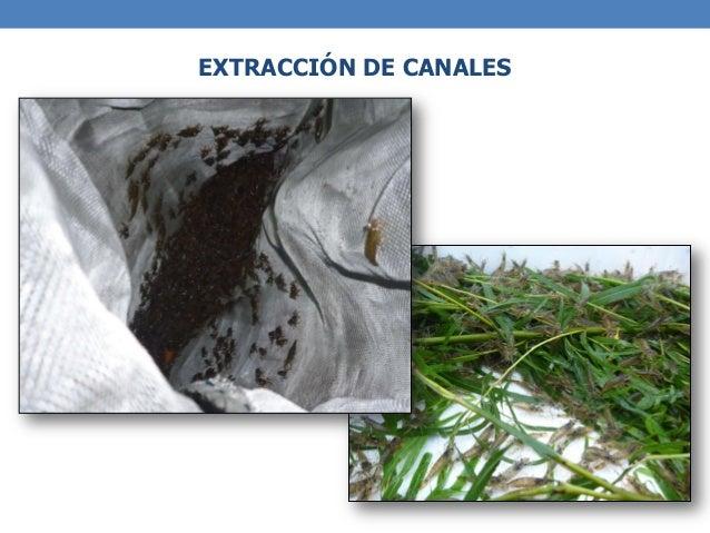 Baños De Verde Malaquita:Potencial del cultivo de Camarones