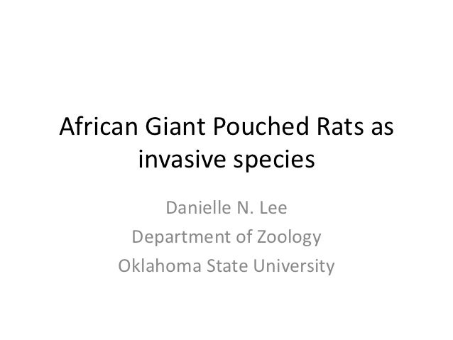 African Giant Pouched Rats as invasive species