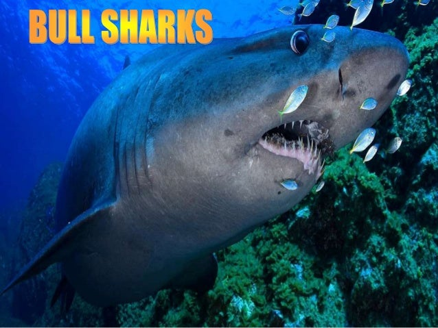 Bull sharks are the most dangerous sharks in the world, According many experts.