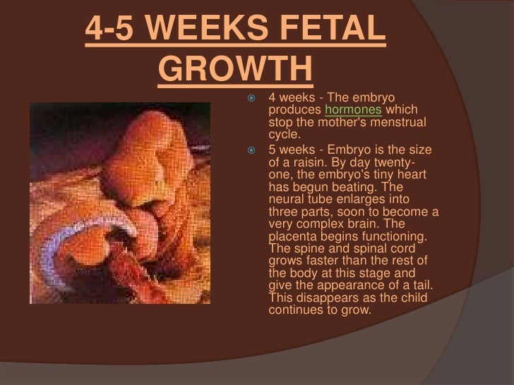 Back > Gallery For > Unborn Baby At 5 Weeks