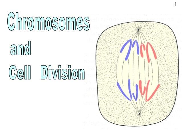 Powerpoint chromosomes, mitosis