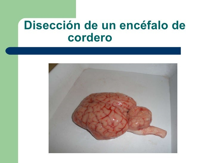 Disección de un encéfalo de    cordero