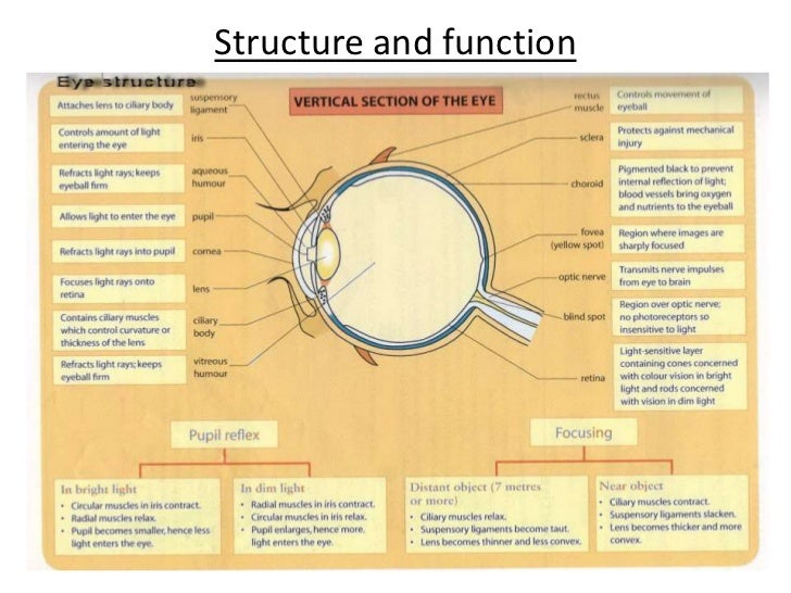 structure of the eye and ear Learn more about eyes, you realize just how amazing they are  discovery eye  foundation june 10, 2014 anatomy of the eye, cornea, eye health  eyeballs  stay the same size from birth to death, while your nose and ears continue to grow.