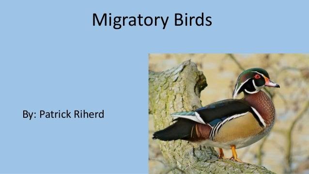 Migratory Birds By: Patrick Riherd