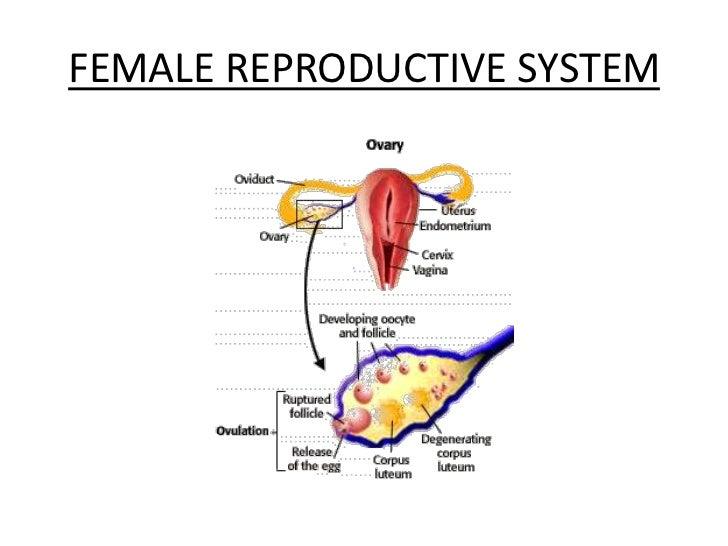 human zygote development