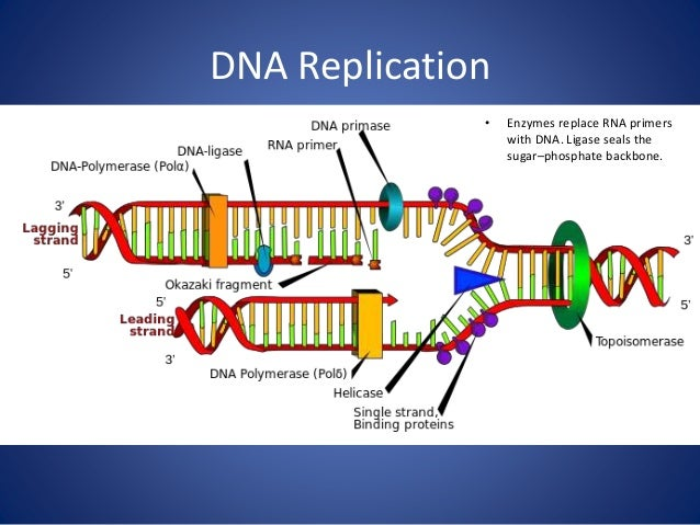 Dna Replication Protein That Help Dna Replicate