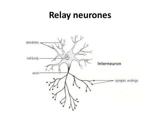 Relay neuron diagram explore schematic wiring diagram the nervous system florencia araya rh florenciaaraya cumbresblogs com diagram of a neuron synapse relay neuron structure ccuart Images