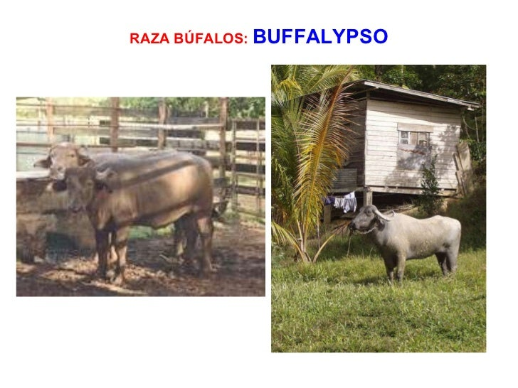the buffalypso The school of veterinary medicine, faculty of medical sciences (fms) and faculty of food and agriculture (ffa) host the revitalizing the buffalypso - our national treasure.