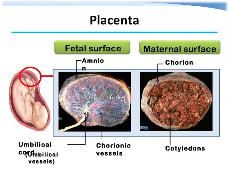 thesis placenta Explore the latest articles, projects, and questions and answers in placenta, and find placenta experts added a thesis related to placenta.