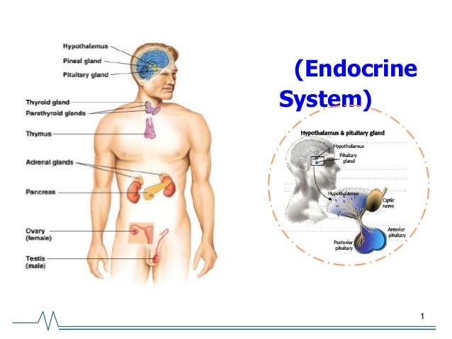1 (Endocrine System)