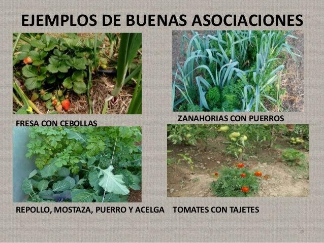 El huerto como ecosistema for Asociacion de cultivos tomate