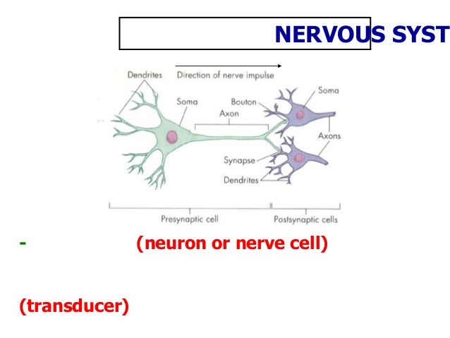 - (neuron or nerve cell) (transducer) NERVOUS SYSTE