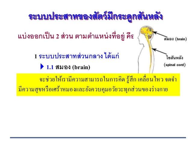 Ppt ระบบประสาท (nervous system) ชีววิทยา ม.5