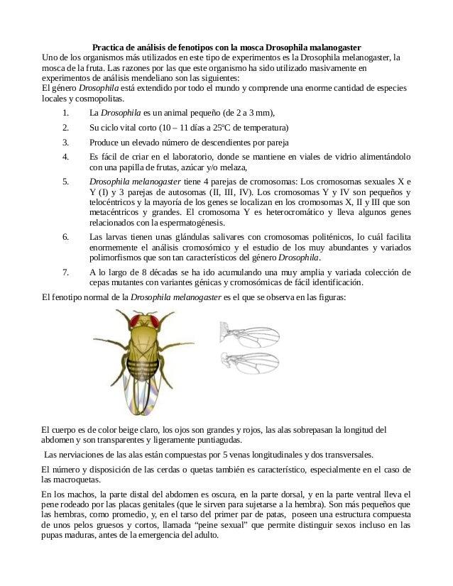 Practica de análisis de fenotipos con la mosca Drosophila malanogaster Uno de los organismos más utilizados en este tipo d...
