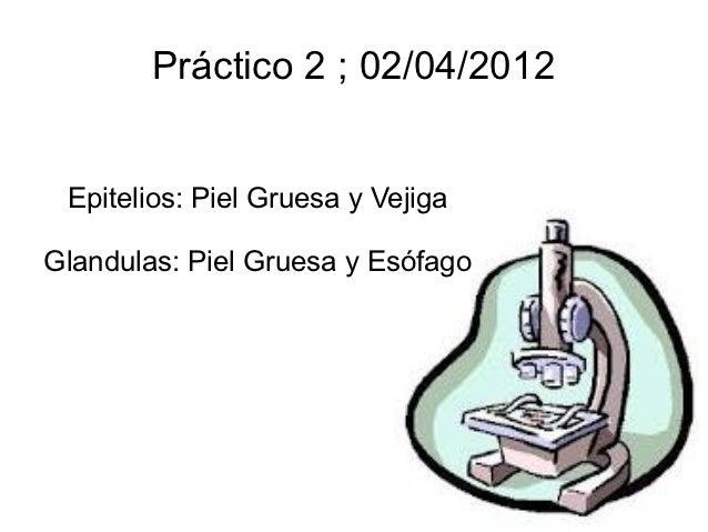 Practico 2 epitelio y glandulas