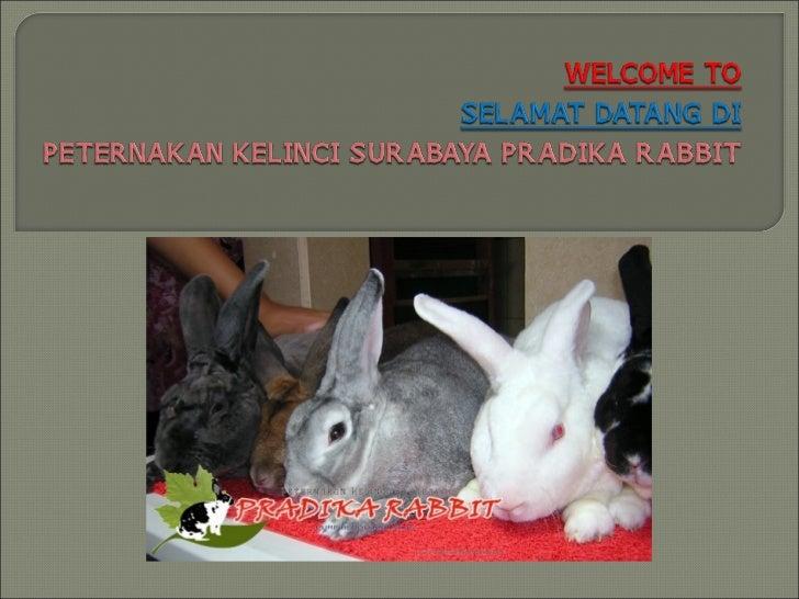 15 Alasan Harus ke Pradika Rabbit