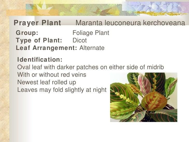 Prayer Plant   Maranta leuconeura kerchoveana   Group: Foliage Plant Type of Plant: Dicot Leaf Arrangement:  Alternate   I...