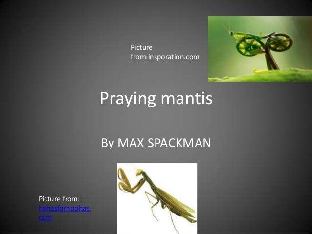 Praying mantismax