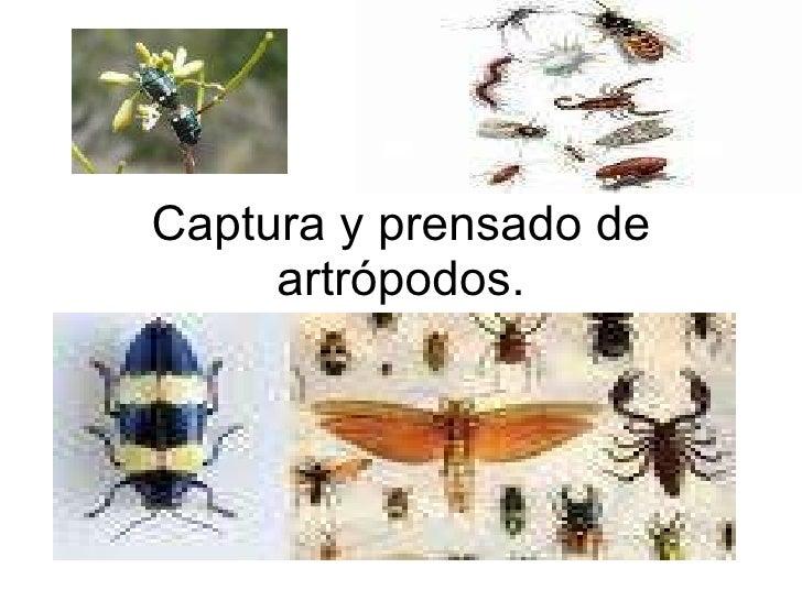 Captura y prensado de artrópodos.