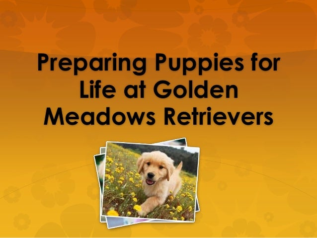 Preparing puppies for life at golden meadows retrievers