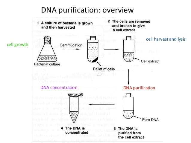 extraction of plasmid dna Bear in mind that lysis for plasmid isolation is very different to lysis for rna or genomic dna extraction because plasmids must be separated from genomic dna first the addition of chaotropes will release all types of dna at once, losing the ability to differentiate small circular dna from high molecular weight chromosomes.