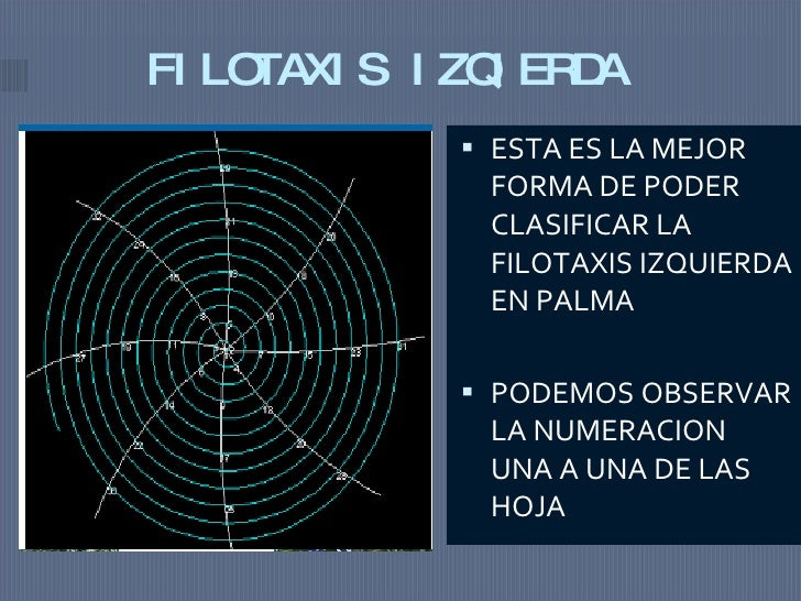 FILOTAXIS IZQIERDA <ul><li>ESTA ES LA MEJOR FORMA DE PODER CLASIFICAR LA FILOTAXIS IZQUIERDA EN PALMA  </li></ul><ul><li>P...
