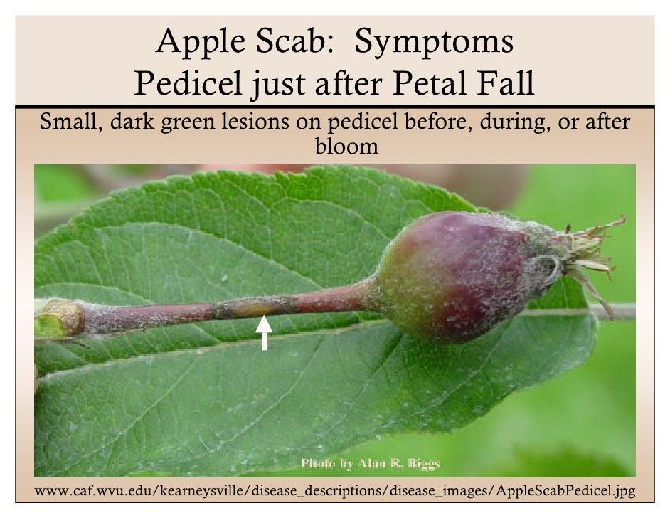 Scab of Apple | Ohioline