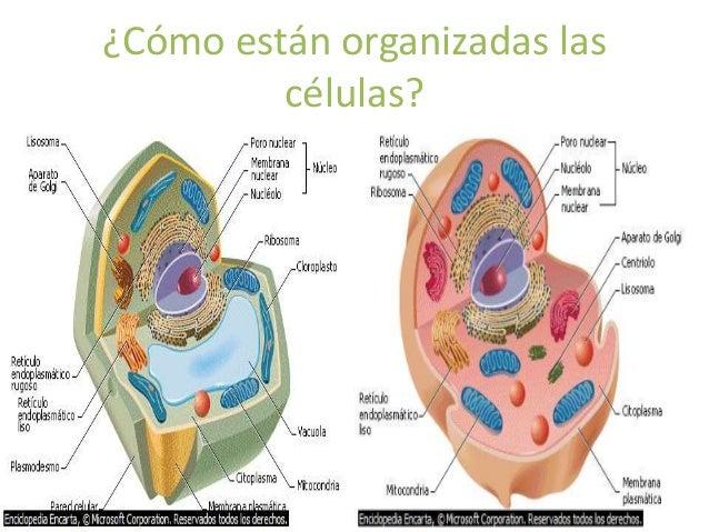 ¿Cómo están organizadas las  células?