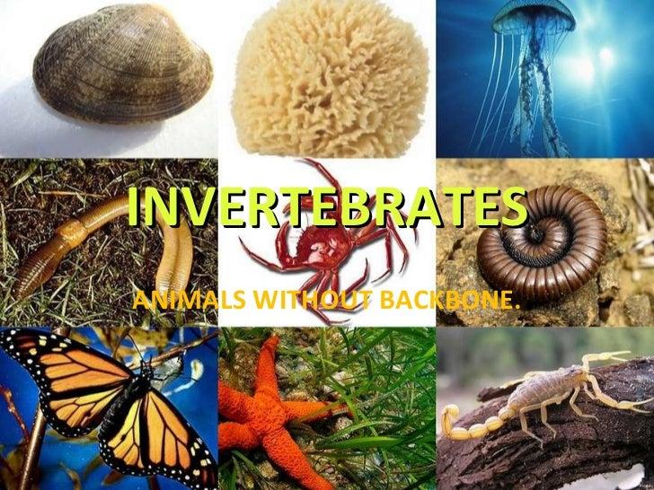 INVERTEBRATES ANIMALS WITHOUT BACKBONE.