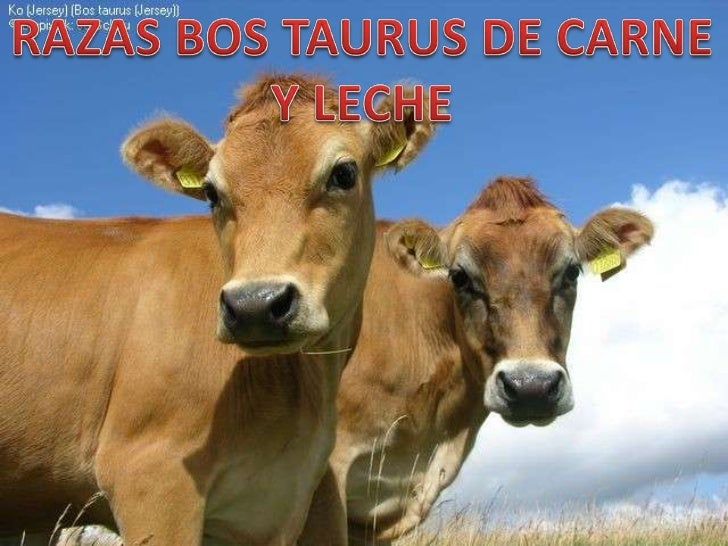 Razas Bos Indicus y Bos taurus