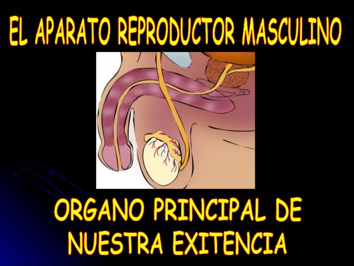 EL APARATO REPRODUCTOR MASCULINO ORGANO PRINCIPAL DE NUESTRA EXITENCIA