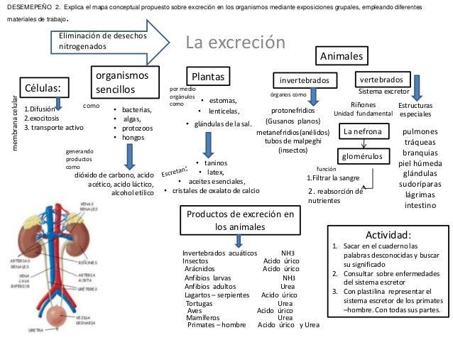 La excreciónEliminación de desechos nitrogenados Células: 1.Difusión 2.exocitosis 3. transporte activo membranacelular org...