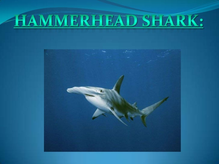  The scalloped hammerhead          the fins are usually darker on shark belongs to the large         young animals but be...