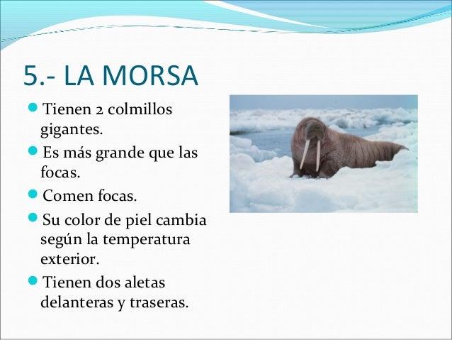 5.- LA MORSA Tienen 2 colmillos  gigantes. Es más grande que las focas. Comen focas. Su color de piel cambia según la ...