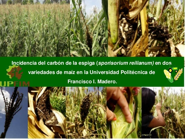 Incidencia del carbón de la espiga (sporisorium reilianum) en dos variedades de maíz en la Universidad Politécnica de Fran...