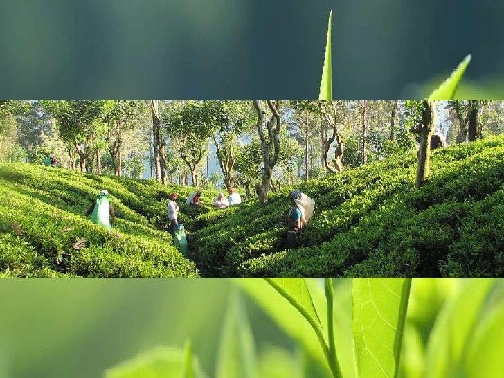 Presentación maskeliya tea exports