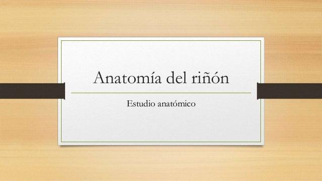 Anatomía del riñón Estudio anatómico