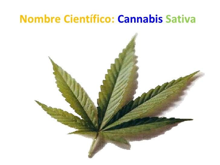 Nombre Científico: Cannabis Sativa
