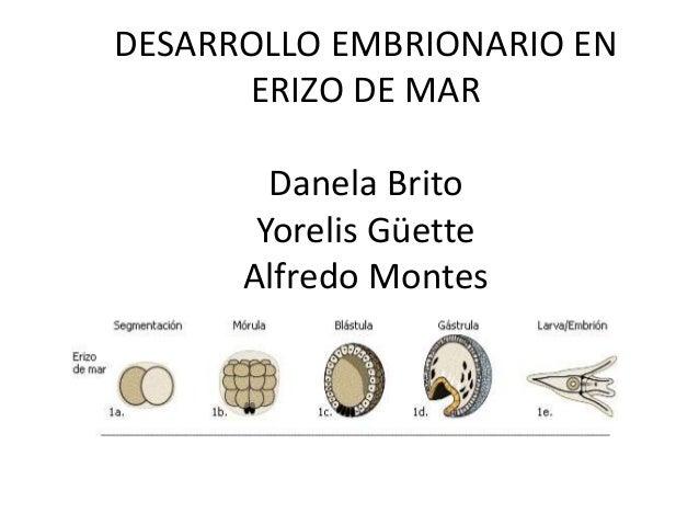 DESARROLLO EMBRIONARIO EN ERIZO DE MAR Danela Brito Yorelis Güette Alfredo Montes