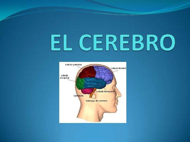 EL CEREBRO<br />