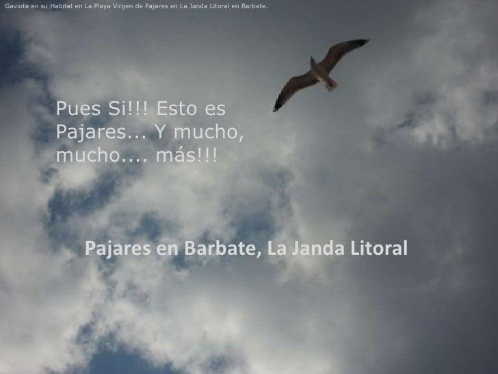 Gaviota en su Habitat en La Playa Virgen de Pajares en La Janda Litoral en Barbate.               Pues Si!!! Esto es      ...