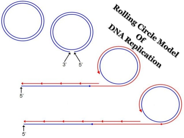 Rolling Circle Model of DNA Replication
