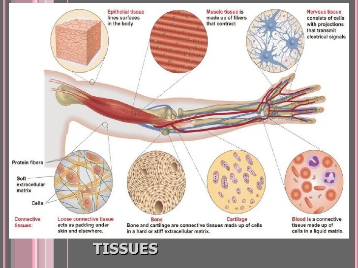 FOUR TYPES OF ANIMAL TISSUES